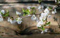 La ciliegia di fioritura si ramifica nel fron del piatto di legno Immagini Stock