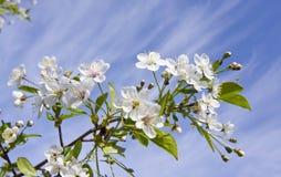 la ciliegia fiorisce il bianco Fotografia Stock Libera da Diritti