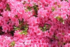 La ciliegia luminosa del fiore dell'azalea del gruppo rosa del rododendro fiorisce il Rho dei raccolti del fondo immagini stock