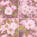 La ciliegia rosa fiorisce il fiore Fotografia Stock