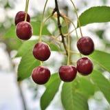 La ciliegia sul ramo si sviluppa Fotografie Stock Libere da Diritti