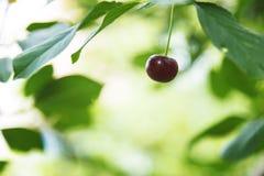 La ciliegia sul ramo si sviluppa, ciliegia rossa maturata fotografie stock