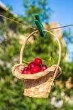 La ciliegia in un canestro sta appendendo sulla molletta da bucato Immagine Stock Libera da Diritti