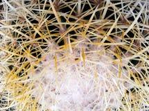 La cima di grande cactus succulente verde con gli aghi piani lunghi immagini stock