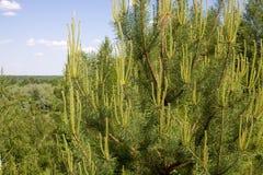 La cima di un pino con i nuovi germogli Immagine Stock Libera da Diritti