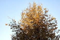 La cime d'arbre avec le jaune d'automne part contre le ciel bleu image stock