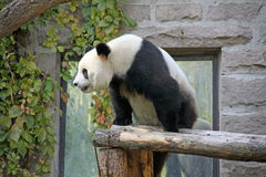 La Cina Panda allo zoo di Pechino Fotografia Stock Libera da Diritti