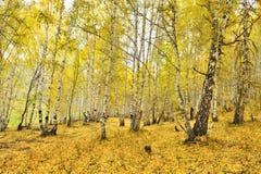 La Cina/Xinjiang: birchwoods in hemu Fotografie Stock Libere da Diritti