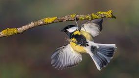 La cinciallegra è acrobata fotografia stock libera da diritti