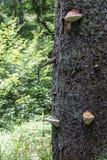 La cinghia rossa del fungo colpisce la crescita su un tronco di un abete Fotografia Stock