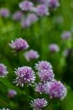 La cipolla di allium schoenoprasum con il fiore porpora è un decorativo Immagini Stock