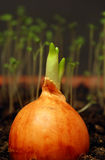 La cipolla germogliata Fotografie Stock Libere da Diritti