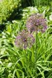 La cipolla gigante di fioritura fiorisce (allium Giganteum) Fotografia Stock Libera da Diritti