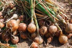 La cipolla organica si è riunita all'azienda agricola ecologica, fondo Fotografia Stock