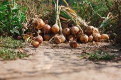 La cipolla organica si è riunita all'azienda agricola ecologica, fondo Immagine Stock