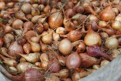 La cipolla organica si è riunita all'azienda agricola ecologica su legno rustico Fotografia Stock
