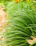 La citronella o Lapine o dell'India Occidentale sono stati piantati sulla terra È un arbusto, le sue foglie sono verde lungo e sn Fotografia Stock Libera da Diritti