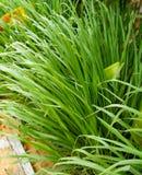 La citronella o Lapine o dell'India Occidentale sono stati piantati sulla terra È un arbusto, le sue foglie sono verde lungo e sn Fotografie Stock Libere da Diritti