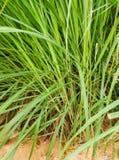 La citronella o Lapine o dell'India Occidentale sono stati piantati sulla terra È un arbusto, le sue foglie sono verde lungo e sn Fotografia Stock