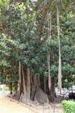 La città fa il giardinaggio - piante tropicali - magnoliodes di ficus Fotografia Stock