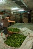 La ciudad de Chiayi de Taiw?n, territorio largo de Misato de los obreros de un t? est? colgando el t? de Oolong (primer proceso d Imagenes de archivo