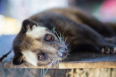 La civeta de palma asiática produce el luwak de Kopi Imágenes de archivo libres de regalías
