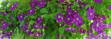 La clématite fleurit panorama Image stock