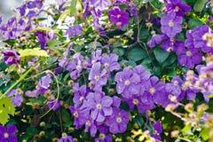 La clématite pourpre fleurit extérieur photographie stock libre de droits