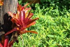 La clase del fasciata de Aechmea de plantas locales del Brasil puso el árbol seco Foto de archivo