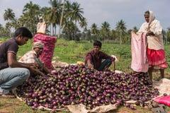 La clase del granjero y del equipo cosechó las berenjenas, Mysore la India Fotografía de archivo