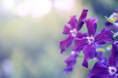 La clemátide púrpura florece el primer en un fondo hermoso con el espacio para el texto Imágenes de archivo libres de regalías