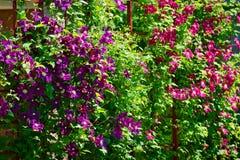 La clemátide púrpura florece en arbusto floreciente en jardín de la primavera Fotografía de archivo