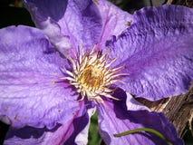 La clematide porpora in fiore fotografia stock libera da diritti