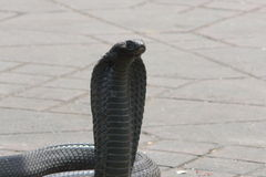 La cobra egiziana (haje del Naja) ha incantato al quadrato di EL Fna di Djemaa, Marrakesh, Marocco immagine stock libera da diritti
