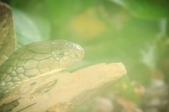 La cobra real (Ophiophagus Hannah), también conocida como hamadryad, es Imágenes de archivo libres de regalías