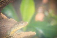 La cobra real (Ophiophagus Hannah), también conocida como hamadryad, es Imagen de archivo libre de regalías