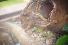 La cobra real (Ophiophagus Hannah), también conocida como hamadryad, es Foto de archivo
