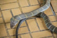 La cobra real (Ophiophagus Hannah), también conocida como hamadryad, es Fotografía de archivo libre de regalías