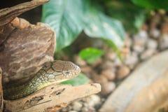 La cobra real (Ophiophagus Hannah), también conocida como hamadryad, es Imagenes de archivo