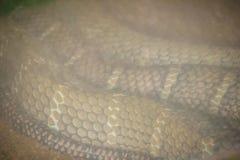 La cobra real (Ophiophagus Hannah), también conocida como hamadryad, es Imagen de archivo