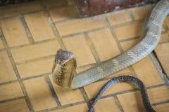 La cobra real (Ophiophagus Hannah), también conocida como hamadryad, es Foto de archivo libre de regalías