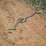 La cobra real y ruega Imagenes de archivo