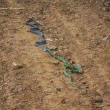 La cobra real y ruega Fotografía de archivo
