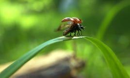 La coccinella decolla da erba Fotografia Stock Libera da Diritti