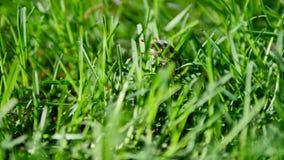 La coccinella ed il rinforzo rossi ostacolano su un primo piano dell'erba verde stock footage