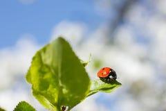 La coccinella rossa si siede su una foglia verde contro il cielo blu Fotografie Stock Libere da Diritti