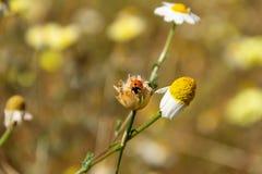 La coccinella in un fiore della margherita, molla è qui fotografia stock libera da diritti