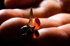 La coccinella vola dalle dita di un bambino piccolo Immagini Stock Libere da Diritti