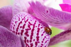 La coccinelle qui dort sur l'orchidée Image libre de droits