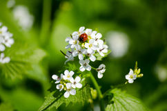La coccinelle se repose sur une fleur dans le pré, plan rapproché Nature lumineuse de ressort photos stock